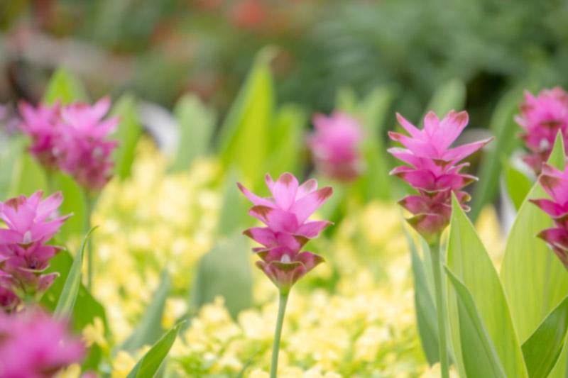 南九州市の花 クルクマ